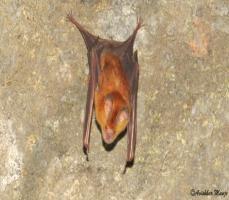 Schneider's Leaf-nosed Bat