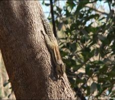 Five Striped Palm Squirrel